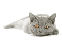 Scottish Kitty Stock Photography