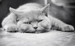 Scottish Kitty Royalty Free Stock Photography