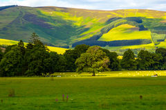 Scottish landscape in Summer. Scottish landscape with hills and sheep in Summer Stock Photos