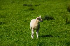 Lamb in field. A scottish larger lamb in a grassy meadow looking sideways to the camera stock photos