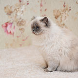 Scottish long haired cat. Long haired cat sitting on carpet in room Stock Photo
