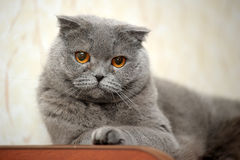 Scottish lop-eared  cat Stock Photography
