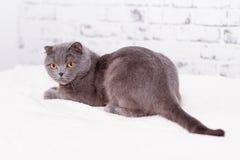 Scottish lop-eared cat Stock Photos