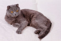 Scottish lop-eared cat Royalty Free Stock Photo