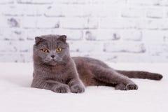 Scottish lop-eared cat Stock Photo