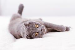 Scottish lop-eared cat Stock Image