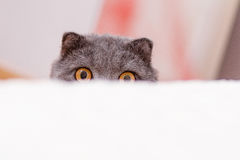 Scottish lop-eared cat peeking Stock Photos