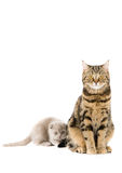 The Scottish lop-eared  cats Stock Images