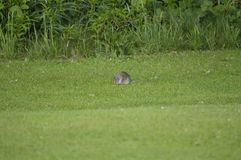 rat in nature, city park Stock Photo