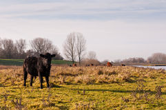 Scottish Lowland cows in a Dutch nature reserve Royalty Free Stock Images