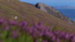 Scottish mountain scene during july with clear skies and flowering ling/bell heather