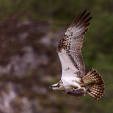 Scottish Osprey flying with a fish. Taken at dawn in June 2015, osprey taken a fish set against a rockface Stock Photo