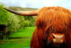 Scottish ox Royalty Free Stock Image