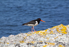 Scottish Oyster Catcher. Oyster catcher standing on rocks next to the sea taken in Island of Tiree Hebrides Western Scotland Stock Image