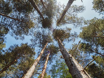 Scottish Pine Trees in Forest. Looking up through the canopy of Scottish Pine trees in the forest of the Highlands in Rothiemurcus Estate stock image