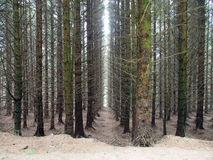 Scottish Pines in Glen Devon Royalty Free Stock Images
