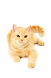 Scottish purebred cat Stock Images