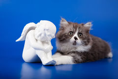 Scottish purebred cat Stock Images