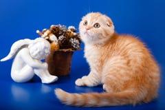 Scottish purebred cat Stock Photography