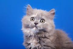 Scottish purebred cat. Grey Scottish purebred cat is sitting on blue background Royalty Free Stock Photography