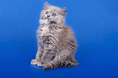 Scottish purebred cat Royalty Free Stock Photo