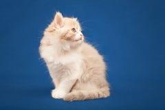 Scottish purebred cat Stock Photo