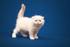 Scottish purebred cat Royalty Free Stock Images