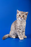 Scottish purebred cat Royalty Free Stock Photos