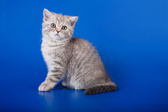 Scottish purebred cat Stock Image