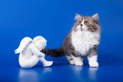 Scottish purebred cat Royalty Free Stock Image