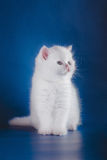 Scottish purebred cat Royalty Free Stock Photography
