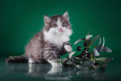 Scottish purebred cat Stock Photo