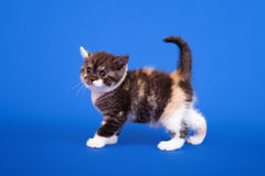 Scottish purebred cat Royalty Free Stock Image