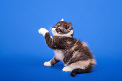 Scottish purebred cat Stock Photography