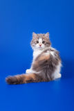 Scottish purebred cat Stock Image