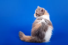 Scottish purebred cat Stock Photos