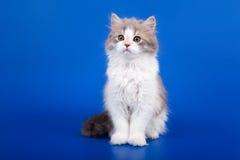 Scottish purebred cat Royalty Free Stock Photography