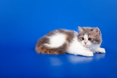 Scottish purebred cat Royalty Free Stock Images