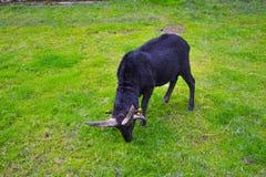 Scottish-RAM-Ziege, Schaf, das in einem grünen Gras in Aberfoy weidet lizenzfreie stockfotografie