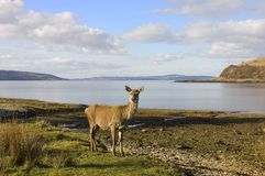 Scottish Red deer hind at the sea shore Royalty Free Stock Images