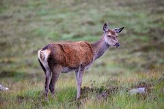 Scottish red deer in Scotland. A Scottish red deer fawn on the highlands royalty free stock images