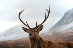 Red deer stag. Scottish red deer stag looking at camera. Highland mountains as background Royalty Free Stock Photo