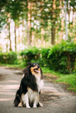 Scottish Rough Long-Haired Collie Lassie Adult Dog Sitting On Park Alley. The Tricolor Rough Collie, Scottish Collie, Long-Haired Collie, English Collie, Lassie Stock Photo