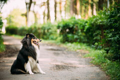 Scottish Rough Long-Haired Collie Lassie Adult Dog Sitting On Park Alley. The Tricolor Rough Collie, Scottish Collie, Long-Haired Collie, English Collie, Lassie Stock Image