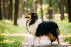 Scottish Rough Long-Haired Collie Lassie Adult Dog Sitting On Park. The Tricolor Rough Collie, Scottish Collie, Long-Haired Collie, English Collie, Lassie Adult Stock Photography