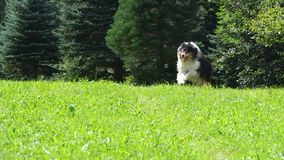 Scottish (or Scotch, Rough) Collie. Scottish Collie (or Scotch Collie, Rough Collie) is running through Swiss mountain fields Stock Photography