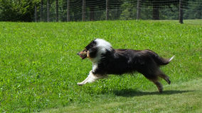 Scottish (or Scotch, Rough) Collie. Scottish Collie (or Scotch Collie, Rough Collie) is running through Swiss mountain fields Stock Image