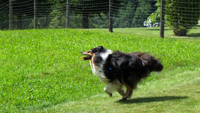 Scottish (or Scotch, Rough) Collie. Scottish Collie (or Scotch Collie, Rough Collie) is running through Swiss mountain fields Royalty Free Stock Photo