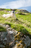 Scottish sheep lying in landscape Stock Photography