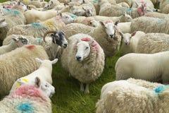 Scottish sheeps marked with colors. Skye isle. Scotland. UK Royalty Free Stock Photography